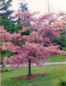 Cerezos - Arboles ornamentales para jardin ...
