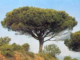 G nero pinus pinos en espa a for Tipos de pinos para jardin fotos